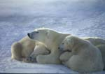 Polar bear sow resting on ice with 9 month old cubs in winter.