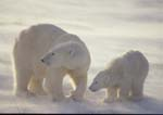 Polar bear sow and cub backlit in blowing snow, mother looking up at another approaching bear.