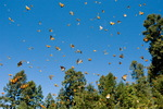 Monarch Butterflies(Danaus plexippus) in flight,  El Rosario Butterfly Reserve, Michoacan , Mexico