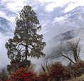 View from Pele La Pass (3420m) showing Rhododendron bushes.