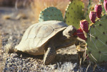 Desert tortoise (Gopherus agassizi) eating prickly pear cactus fruit. Sonoran Desert, Arizona.
