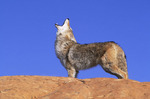 Howling coyote on rock. (Canis latrans]. Near Zion National Park. High desert. Colorado Plateau. Southeastern Utah.