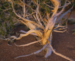 Windblown cedar tree, aka juniper, [Juniperus osteosperma]. Chinde Mesa. Petrified Forest National Park, Arizona.