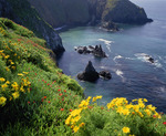 Cathedral Cove, Anacapa Island, with giant coreopsis in bloom [Coreopsis gigantea] and iceplant. Channel Islands National Park, California.