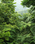 Tree ferns cover much of the rainforest that dominates the island's Central Forest Reserve. Dominica. Windward Islands, Lesser Antilles. Caribbean.