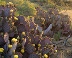 Santa Rita prickly pear cactus with flowers at sunrise. Sierrita Mountains. Pima County, Arizona.