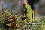 Thick-billed parrot (Rhynchopsitta pachyrhyncha) in native habitat in Apache pine tree with cones. Chiricahua Mountains. Arizona. These parrots are now found only in Mexico in the wild in the Mexican state of Chihuahua in the Sierra Madre Occidental.