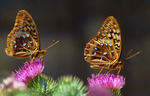 Two great spangled fritillary butterflies [Speyeria cybele] on a thistle.  Wasatch Mountains.  [Near Salt Lake City].  Wasatch-Cache National Forest, Utah.