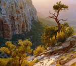 Pinyon pine along the South Bass Trail, with view to inner canyon. Grand Canyon National Park, Arizona.