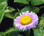 Seaside daisy [Erigeron glaucus].  San Miguel Island.  Channel Islands National Park, California.