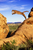 Mountain lion [Puma concolor or Felis concolor].  Also known as cougar or puma.  Jumping in rocks in high desert of the Colorado Plateau.  Near Zion National Park, Utah.