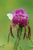 Rocky mountain beeplant and cabbage white butterfly.  Dinosaur National Monument, Colorado/Utah.