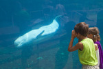 A young boy and girl watching the live Beluga whales at the Mystic Aquarium.  Mystic, Connecticut.