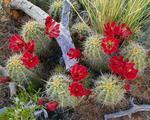 Claret-cup hedgehog cactus in bloom.  Island In The Sky.  Canyonlands National Park, Utah.