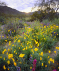 Sonoran Desert National Monument, poppies, lupine, owl clover, creosote bush, and ironwood trees.  North Maricopa Mountain Wilderness, Arizona.