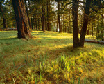 Ponderosa pines near the summit of Mount Withington. San Mateo Mountains.  Cibola National Forest, New Mexico.