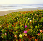 Ice Plant [Carpobrotus edulis] in bloom at North Beach.  Point Reyes National Seashore, California.