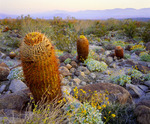 California barrel cactus [Ferocactus acanthodes] at dawn, with brittlebush.  Borrego Mountains in distance.   Mohave Desert.  Anza-Borrego State Park, California.