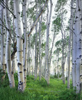 Aspens in the La Sal Mountains.  Summer.  Manti La Sal National Forest, Utah.