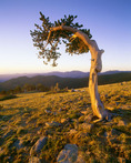 Ancient bristlecone pine on slope of Mt. Evans at Mt. Goliath Natural Area.  Arapaho National Forest, Colorado.