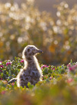 Western seagull chick [Larus occidentalis] on Anacapa Island.  Channel Islands National Park, California.