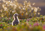 Western gull chick [Larus occidentalis] on Anacapa Island.  Channel Islands National Park, California.