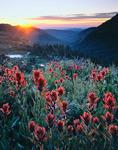 Indian paintbrush below King Lake at sunrise, Indian Peaks, near Boulder and Denver, Wilderness, Colorado