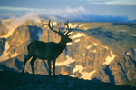 Bull elk on Trail Ridge, Continental Divide behind, Rocky Mountain National Park, Colorado