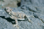 Short-horned lizard, Hole-in-the-Wall country, East Mojave Desert, Mojave National Preserve, near Needles, California