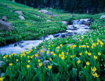 Yellow fawn lilies in Fox Park, Indian Peaks Wilderness, Colorado