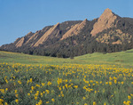 Golden pea and the Flatirons from Chautauqua, near Boulder, Colorado