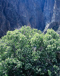 Serviceberry and The Narrows from Balanced Rock, Black Canyon of the Gunnison National Park, near Montrose, Colorado