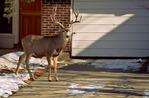 Mule deer buck along suburban street in Boulder, Colorado