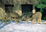 Mule deer bucks sparring alongside a suburban street in Boulder, Colorado
