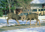 Mule deer bucks sparring on a suburban street in Boulder, Colorado