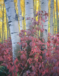 Red osier dogwood and aspen, Maroon Creek valley, White River National Forest, near Aspen, Colorado