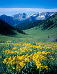Arnica rydbergii and Treasury Mountain, Maroon Bells-Snowmass Wilderness, White River National Forest, Colorado