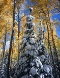 Snow-laden lodgepole pine and aspen, Kebler Pass area, Gunnison National Forest, near Crested Butte, Colorado