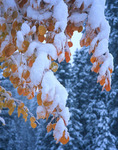 Snow-laden aspen leaves, Uncompahgre National Forest, near Ridgway, Colorado