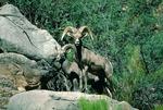 Bighorn sheep, mile 175, Grand Canyon National Park, Arizona