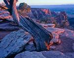 Juniper at sunrise, Colorado National Monument, Colorado