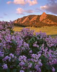 Lilacs and the Flatirons from Chautauqua, Boulder Mountain Parks, near Boulder Colorado