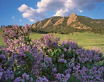Lilacs and the Flatirons from Chautauqua Park at sunrise, Boulder Mountain Parks, near Boulder, Colorado