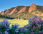 Lilacs and the Flatirons from Chautauqua Park, Boulder Mountain Parks, near Boulder, Colorado