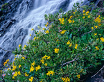 Heartleaf arnica & waterfall, Sunlight Basin, Weminuche Wilderness, CO.