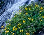 Heartleaf arnica & waterfall, Sunlight Basin, Weminuche Wilderness, CO.