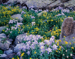 Columbine & heartleaf arnica near No Name Creek, Weminuche Wilderness, CO.