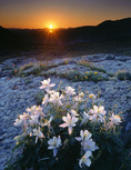 Columbine at sunrise, Pearl Basin, White River National Forest, Colorado