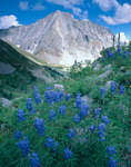 Lupine and Capitol Peak, Maroon Bells-Snowmass Wilderness, Colorado