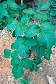 Poison ivy in Coyote Gulch, Utah